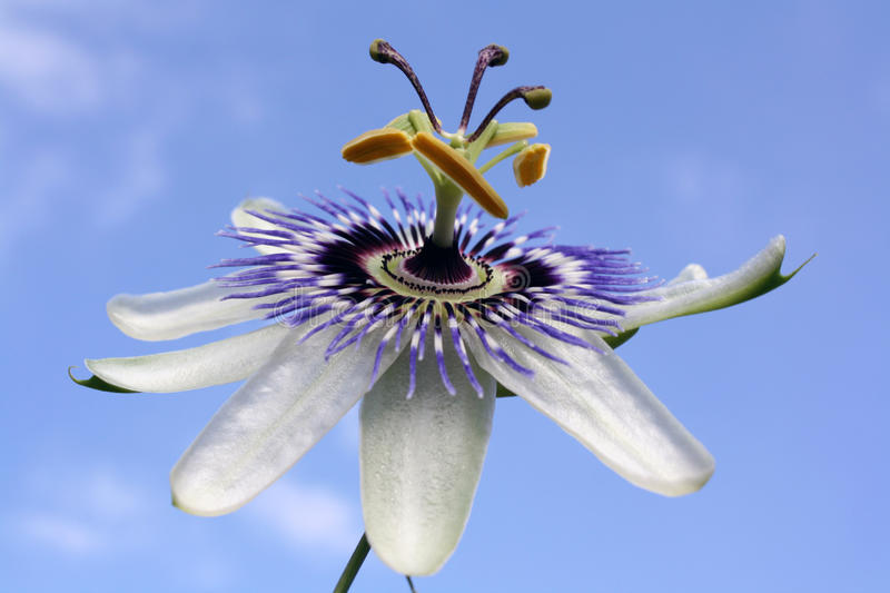 Passion Flower. Close up of a Passion Flower (Passiflora) on stalk stock image