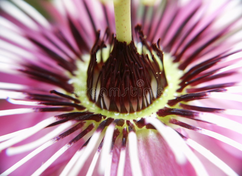 Passion-flower Image stock