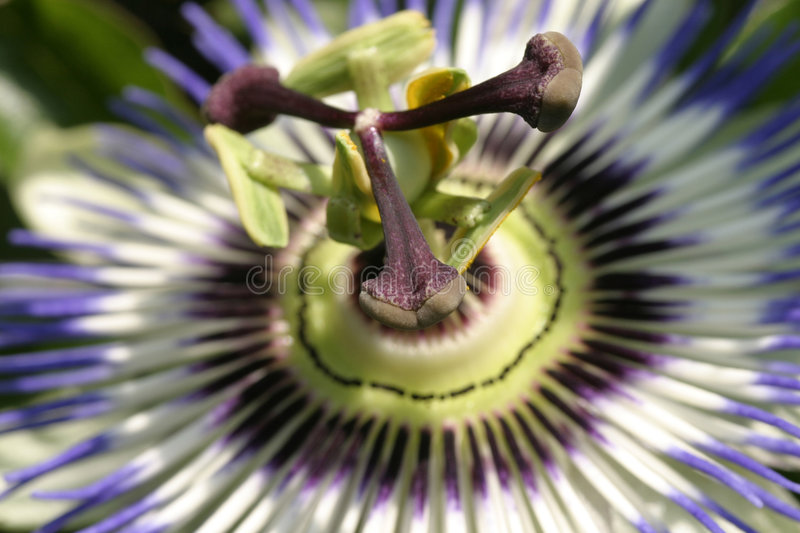 Passion flower. Macro photo of a passion flower royalty free stock images