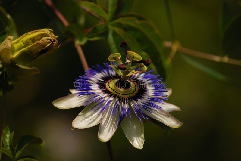 Passion flower. Image of the plant,flower,leaf stock image