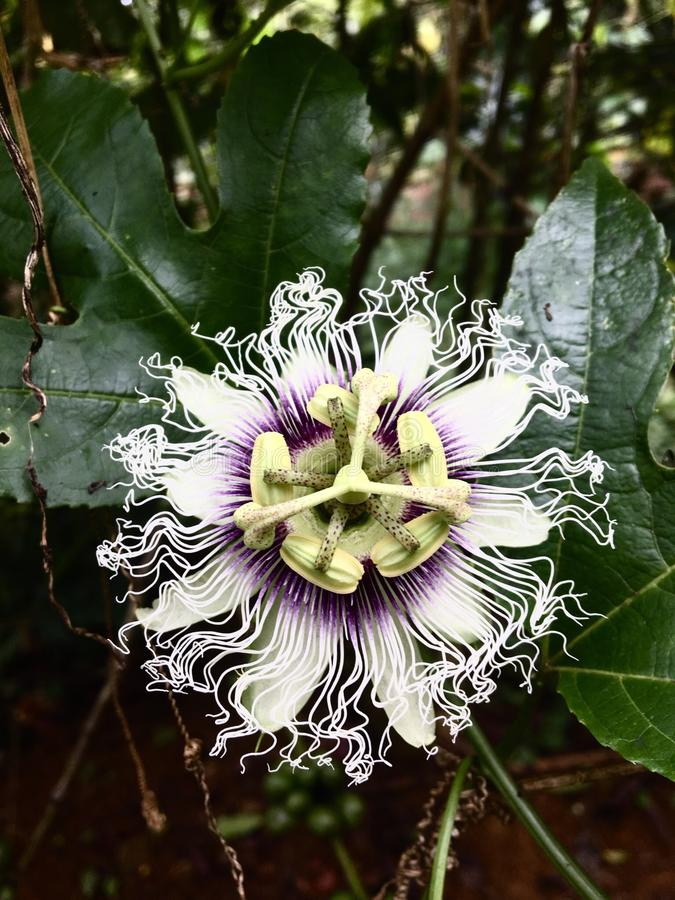 Passion flower. In the afternoon royalty free stock photography