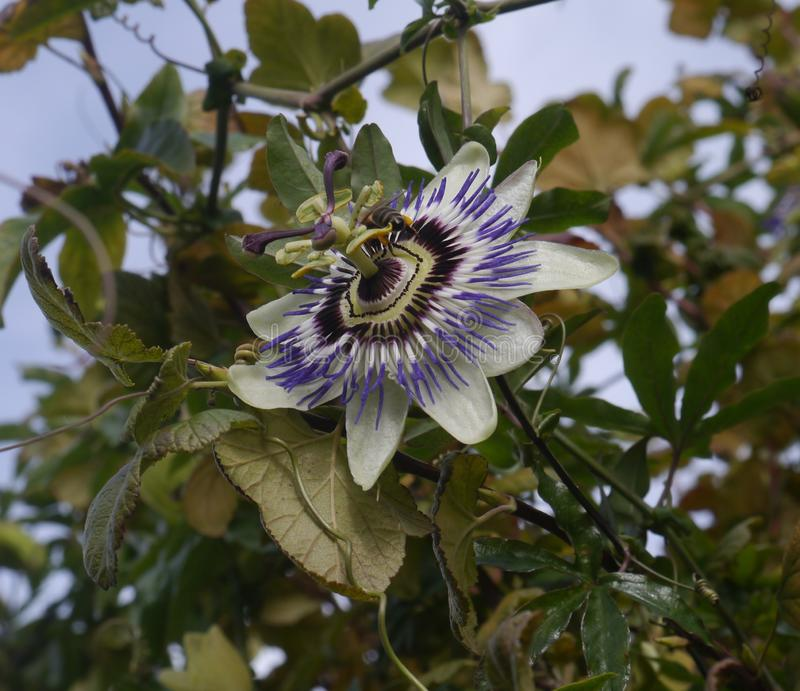 A Passion Flower in Bloom in Autumn Time royalty free stock photography