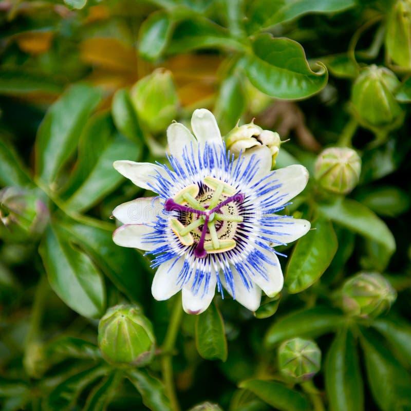 Passion flower in bloom. Passiflora. Flower-buds around. Garden royalty free stock image