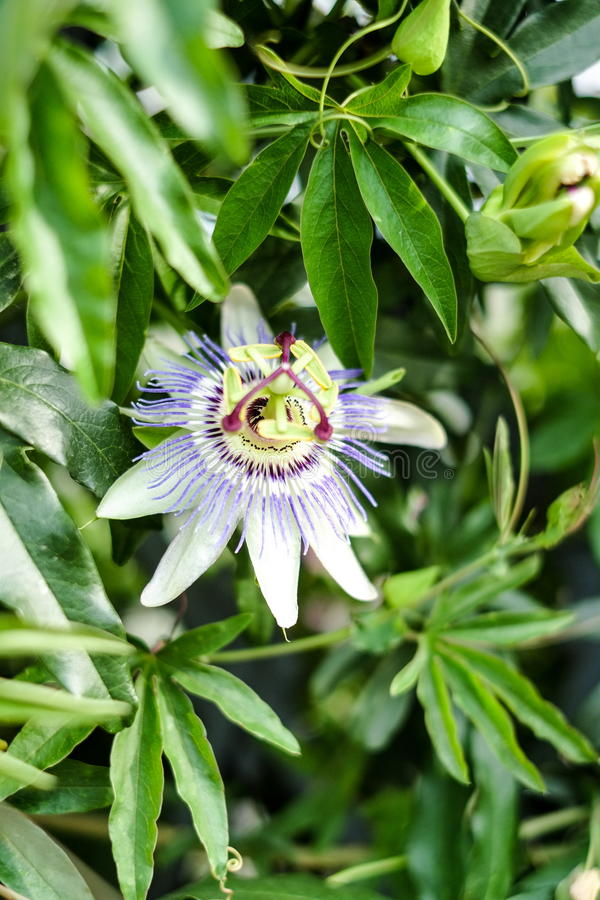 Passion flower in bloom. Passiflora incarnata, lush green leavs. Blooming of the passionflower in the summer royalty free stock image