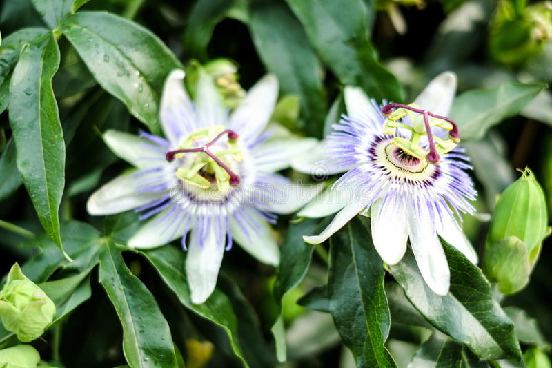 Passion flower in bloom. Passiflora incarnata, lush green leavs. Blooming of the passionflower in the summer stock photography
