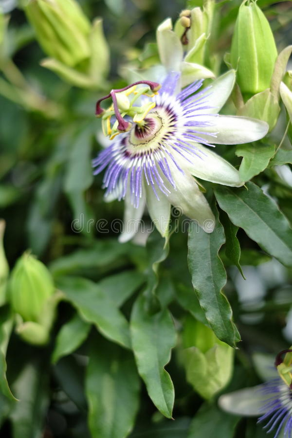 Passion flower in bloom. Passiflora incarnata, lush green leavs. Blooming of the passionflower in the summer royalty free stock photography