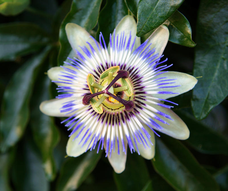 Passion Flower. Blooming blue Passion Flower (Jhumko Lata royalty free stock photography