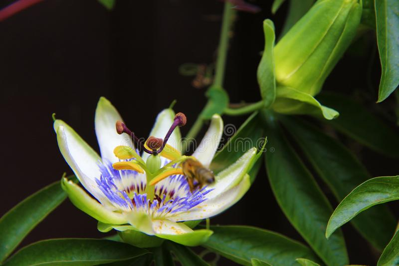 Passion flower blooming in tropical garden. Passiflora blossoming outdoors. Passion flower blooming in tropical garden closeup. Passiflora blossoming outdoors stock photo