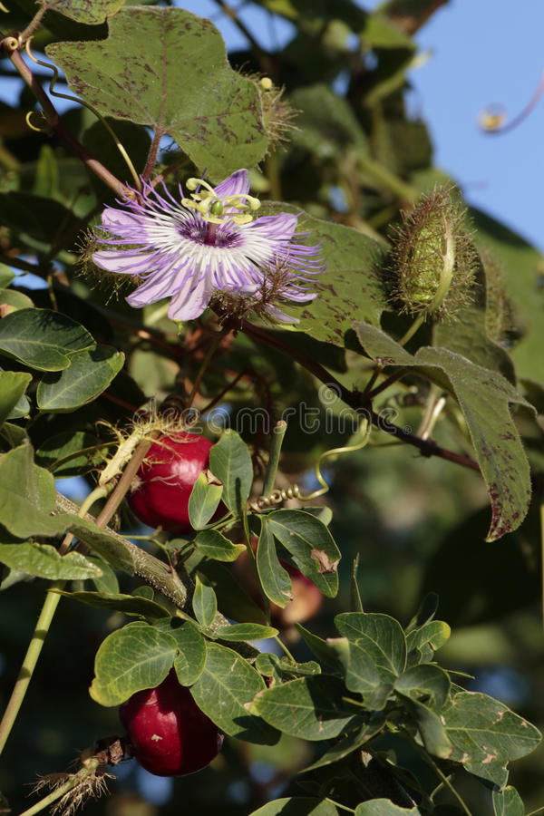 Passion Flower. The bud, flower, and fruit of the passion flower stock photography