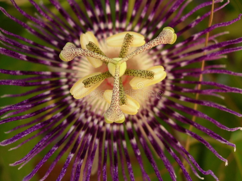 Passion Flower Buds stock photo