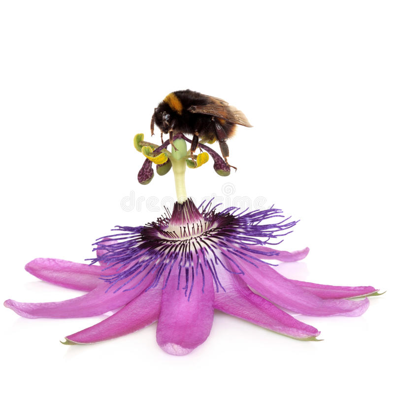 Passion Flower and Bumblebee. Passion flower, purple rain, with bumblebee gathering pollen from the stamens, isolated over white background. Passiflora stock photography