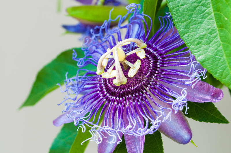 Passion flower close-up royalty free stock image