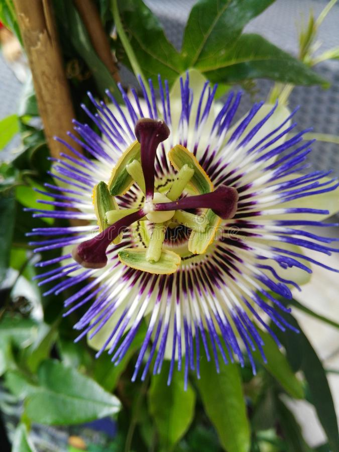 Passion flower royalty free stock image