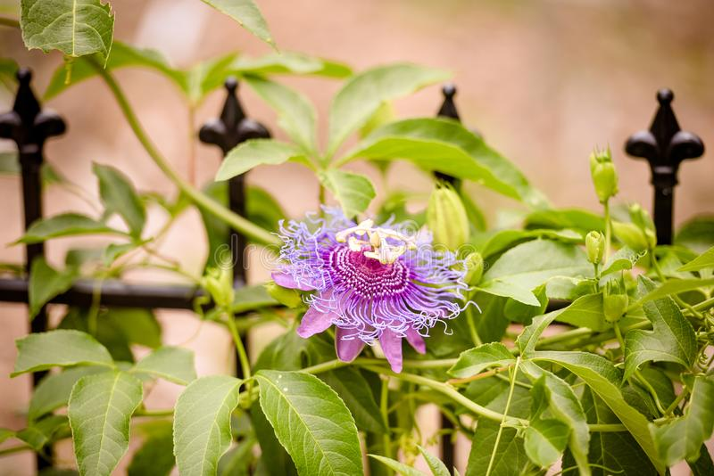 Passion flower close up, purple and bright variety. royalty free stock photography