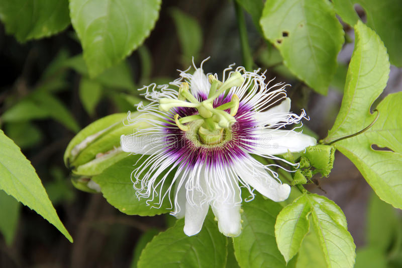 Passion Flower. A close up of passion flower under natural environment, also known as blue passion flower and common passion flower. Its scientific name is royalty free stock photography