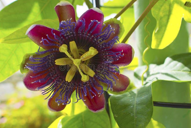 Passion flower. Closeup of a passion flower Passiflora Marijke royalty free stock photos