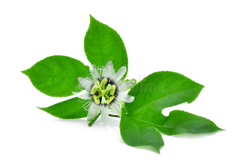 Passion flower with green leaves isolated on white stock images