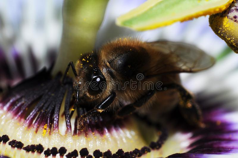Passion flower with hornet. royalty free stock images