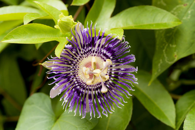 Passion Flower, Jamaica Honeysuckle Passiflora x alato-caerulea Lindl. Flowers on natural background. Passion Flower, Jamaica Honeysuckle, Purple flowers royalty free stock images