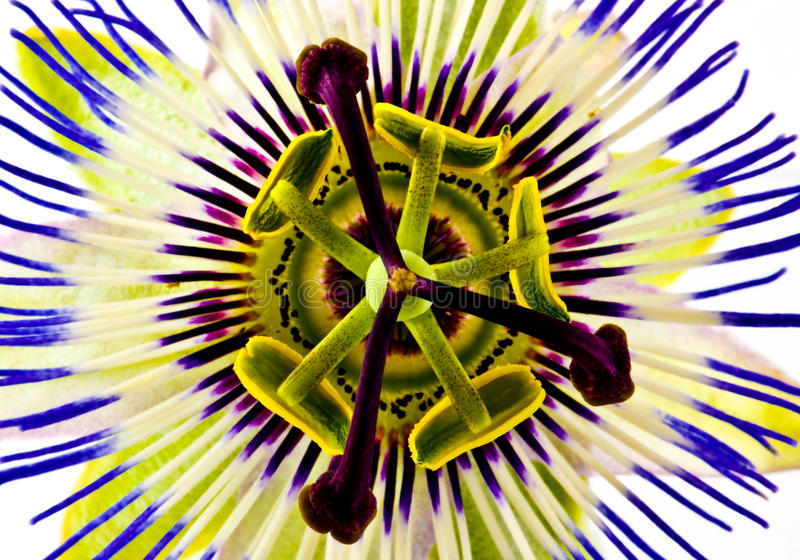 Passion flower. A closeup of a passion flower blossom seen from straight above stock images