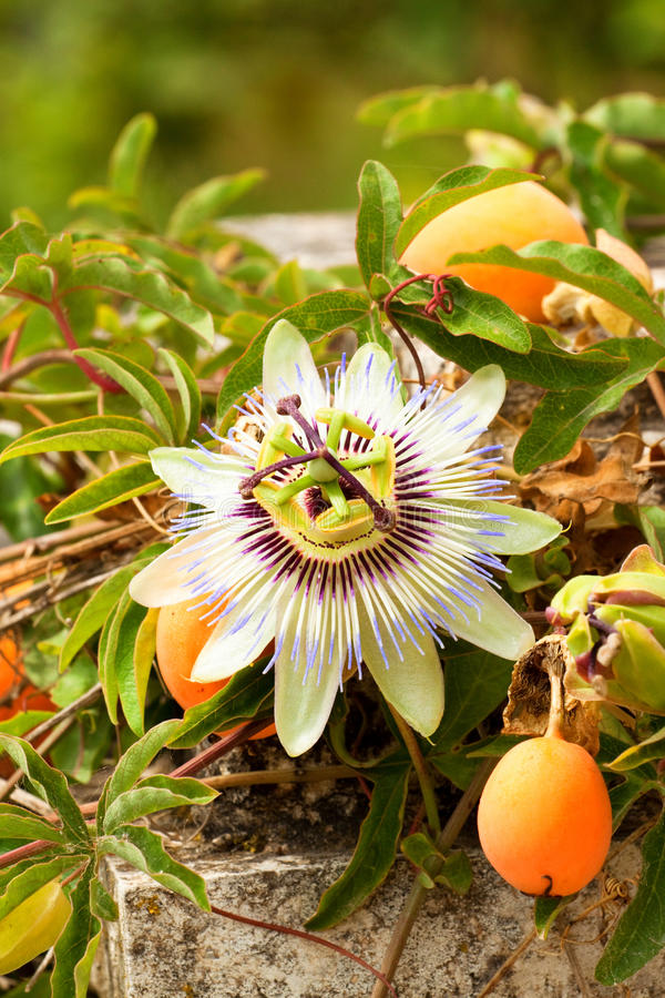 Passion flower - Passiflora. Passion flower with berry in bloom royalty free stock images