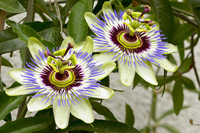 Passion flower (Passiflora). With raindrops in the garden. Summer flowers. Adobe RGB. DFF image royalty free stock image