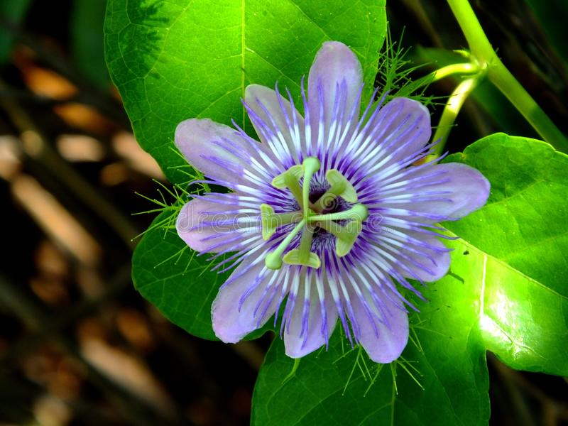 Passion Flower Passiflora. Passion Flower also known as Passion Vine, Maypop and Granadilla stock images