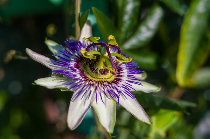 Passion flower Passiflora caerulea Passionflower against green garden background. Macro closeup of a beautiful intricate incredible alien blue and purple passion royalty free stock photos