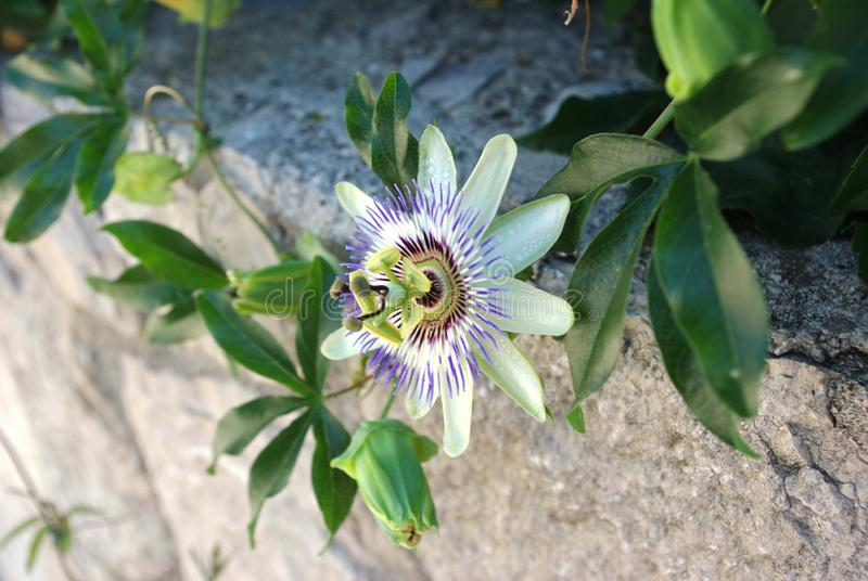 Passion flower, Passiflora Caerulea, side-view stock images