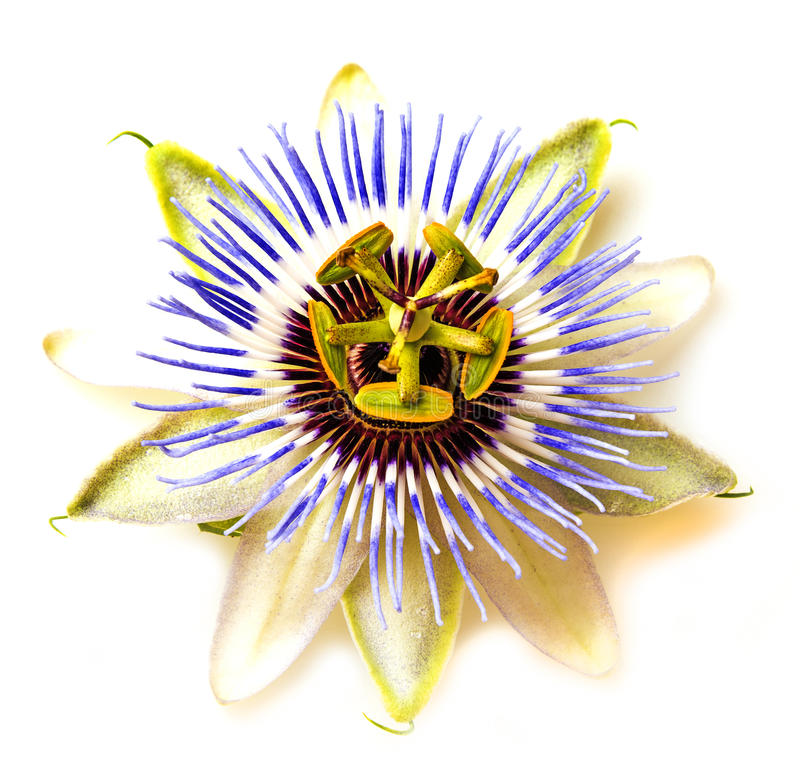 Passion flower - passiflora. Close up royalty free stock image