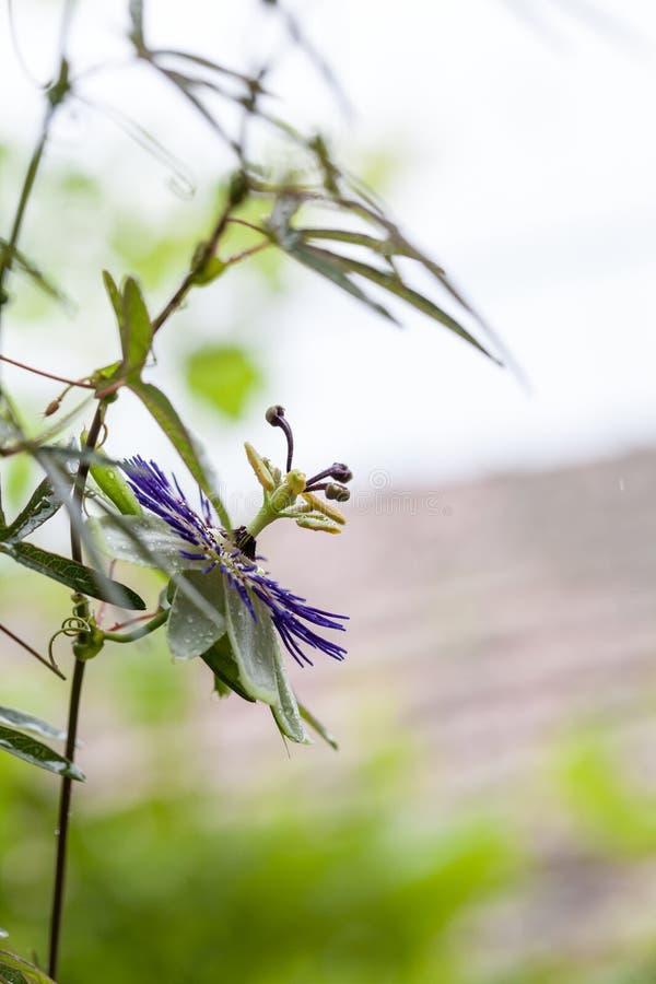 Passion flower - Passiflora incarnata royalty free stock image