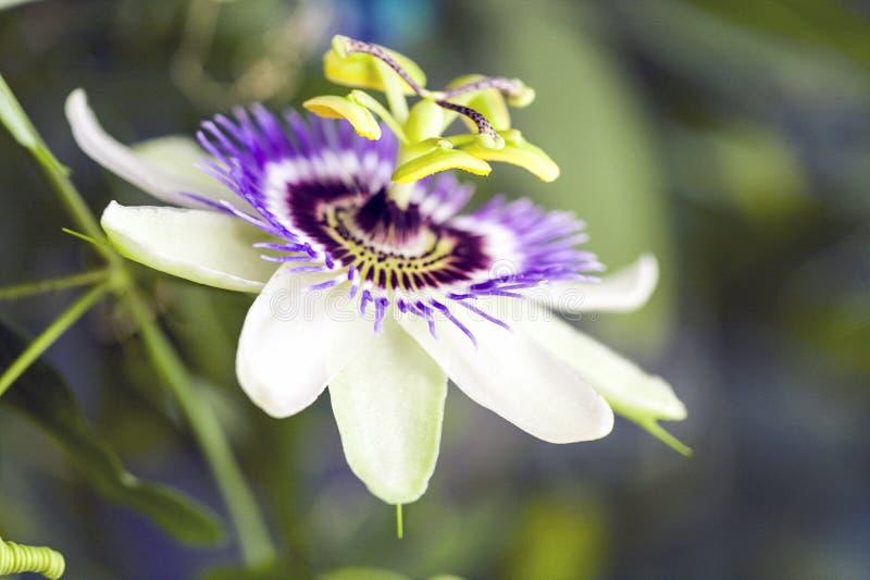 Passion flower Passiflora incarnata. With details stock photo