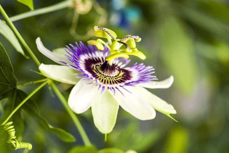Passion flower Passiflora incarnata. With details stock photos
