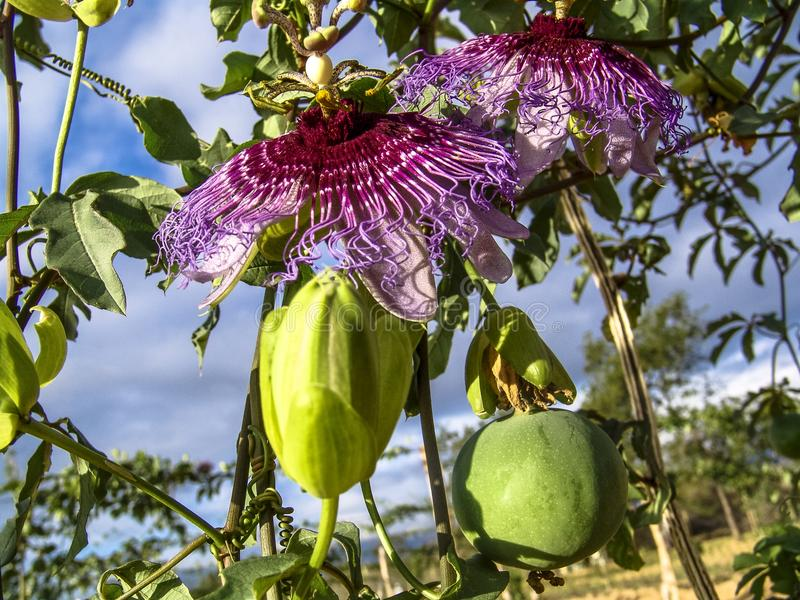 Passion flower Passiflora incarnata. On field in Brazil royalty free stock images