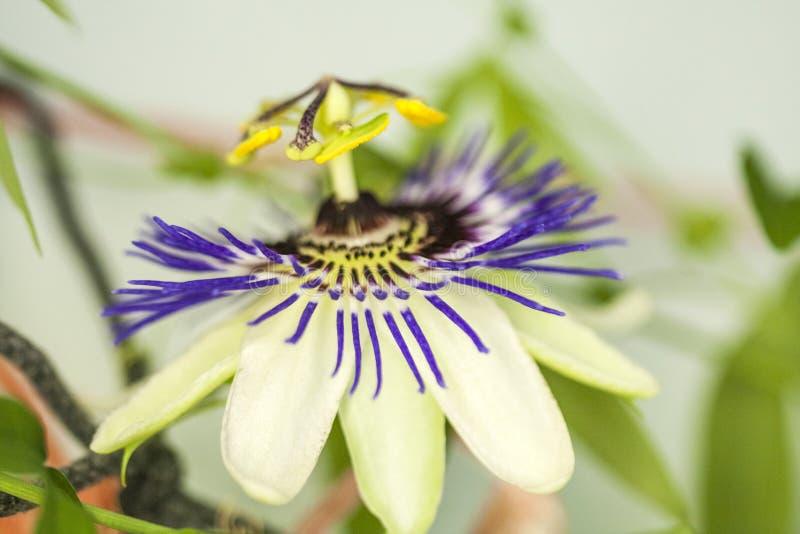 Passion flower Passiflora incarnata royalty free stock photo