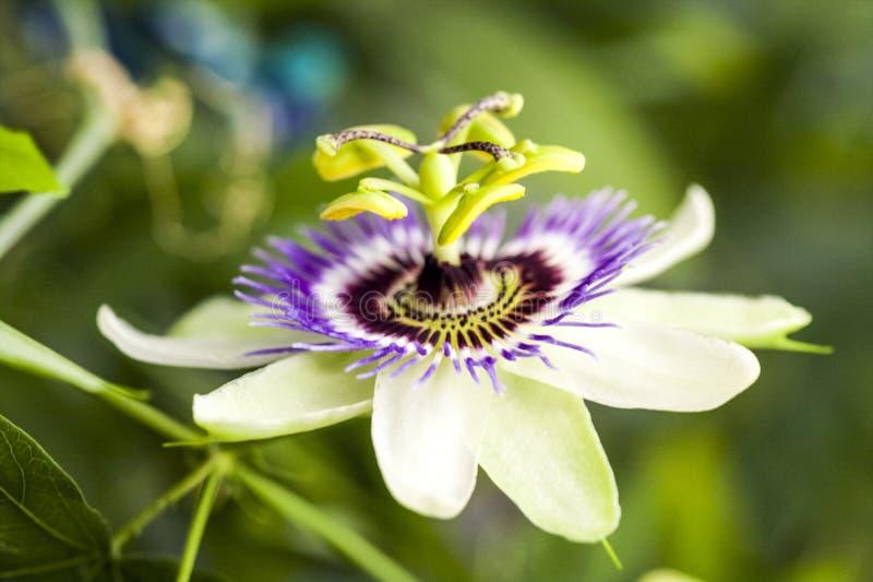 Passion flower Passiflora incarnata stock image