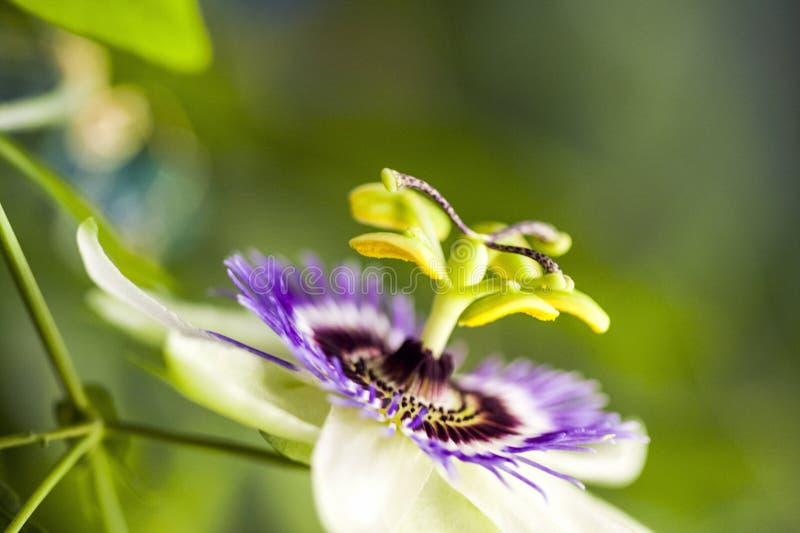 Passion flower Passiflora incarnata stock images