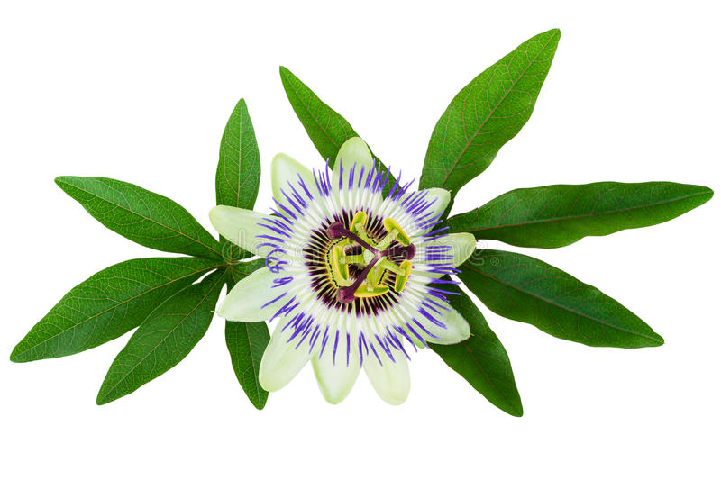 Passion Flower (Passiflora) isolated clipping path included. Passion Flower Passiflora isolated on white, clipping path included royalty free stock image