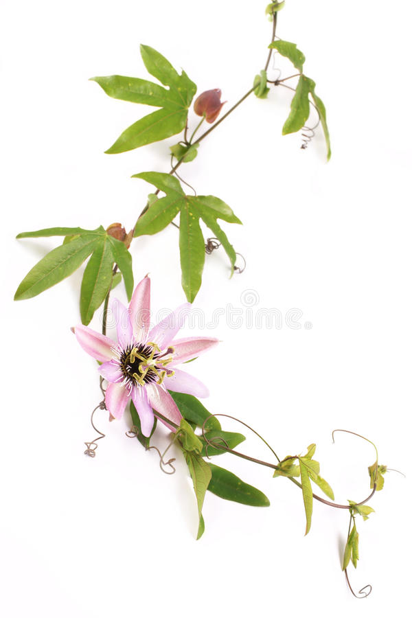 Passion Flower Passiflora L. on a white background. Passion Flower Passiflora L., on a white background stock photo