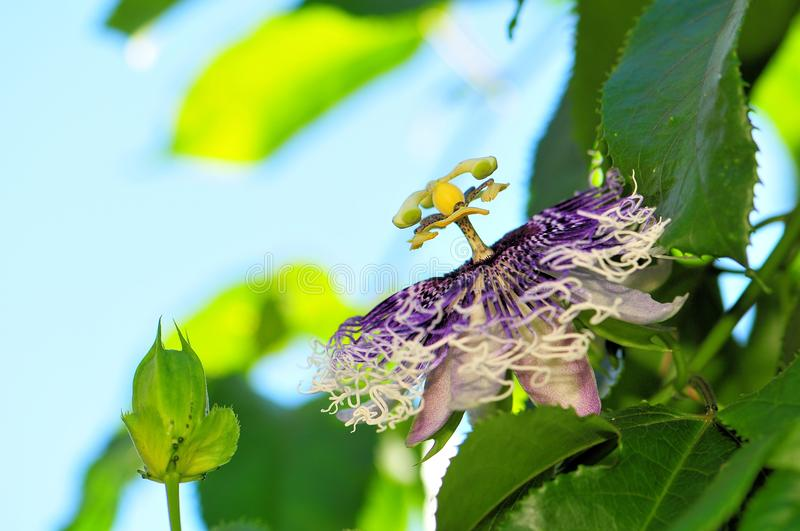 Passion flower. A Passiflora, passion vine or passion flower in Butterfly World, South Florida stock photos