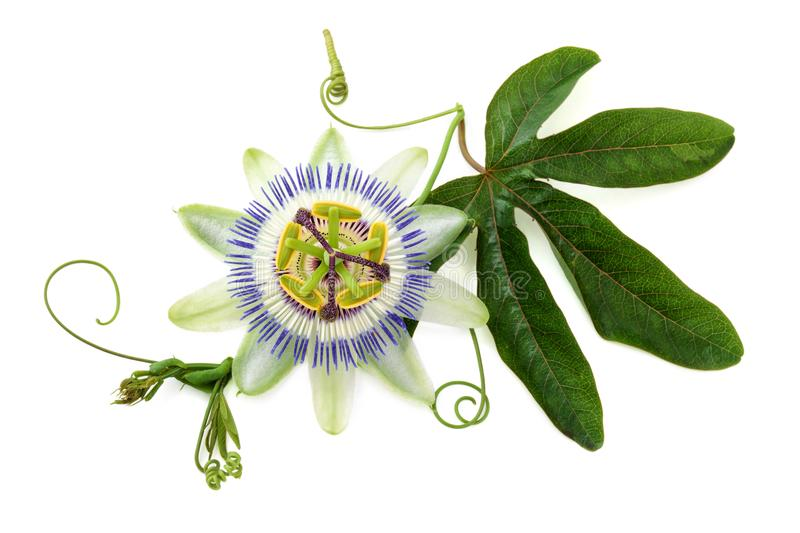 Passion flower on white. Closeup shot of passion flower isolated on white background royalty free stock images