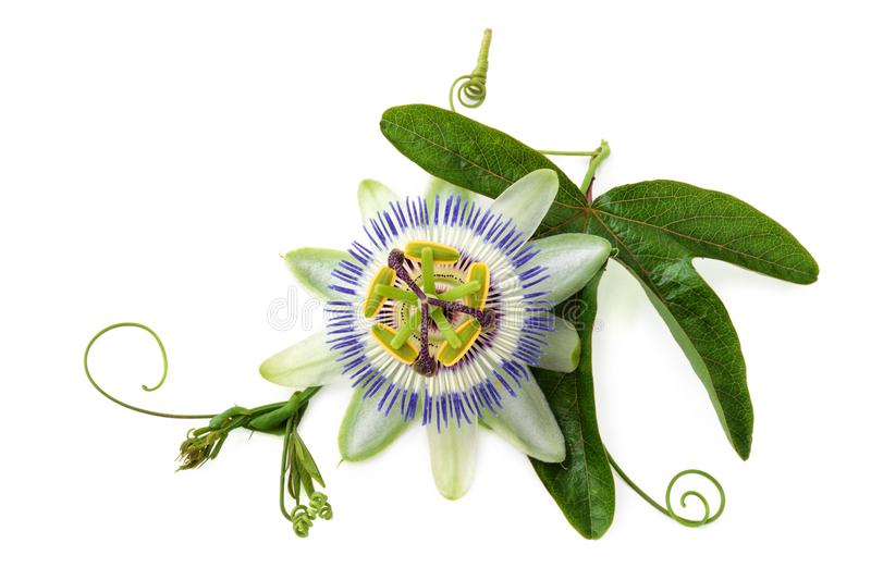 Passion flower on white. Closeup shot of passion flower isolated on white background royalty free stock photos