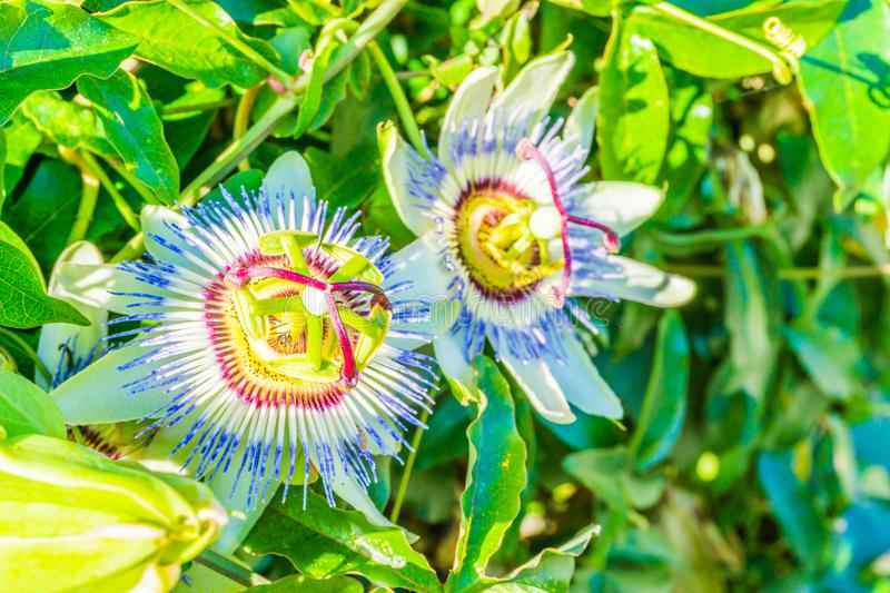 Passion flowers in close up on a passion flower plant white and purple color stock photography