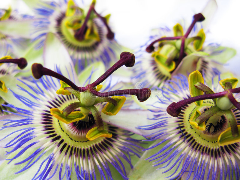Passion flowers closeup royalty free stock photography