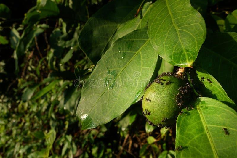 Passion Fruit closeup exoti. Maracuja ,granadilla,Maracuya ,Parcha ,Passiflora edulis royalty free stock images