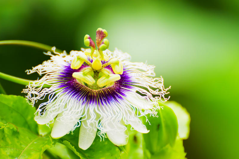 Passion fruit flower. Blossom nice passion fruit flower royalty free stock images