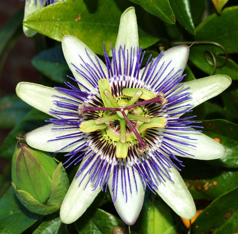 Passion Fruit Flower. Passion flower of the passion fruit vine.The unusual shape of the flowers has led to the plant being associated in Christian symbolism with stock photos