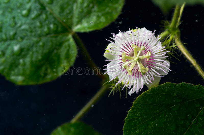 Passion Fruit flower. On black background with water spray stock images