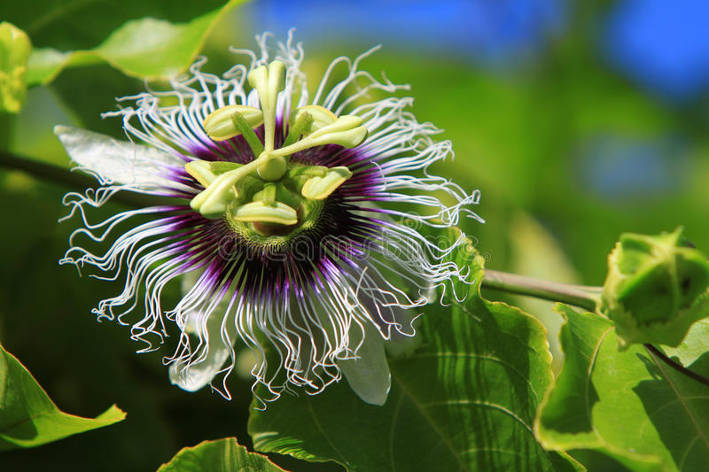 Passion Fruit Flower. In bloom stock photos