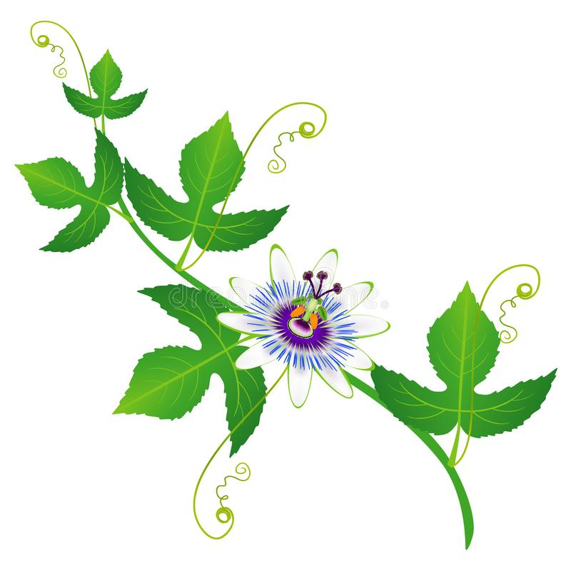 Passion fruit flower on a branch with leaves on a white background. vector illustration